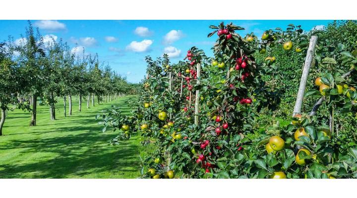 Meyve Ağaçları Neden Budanır?