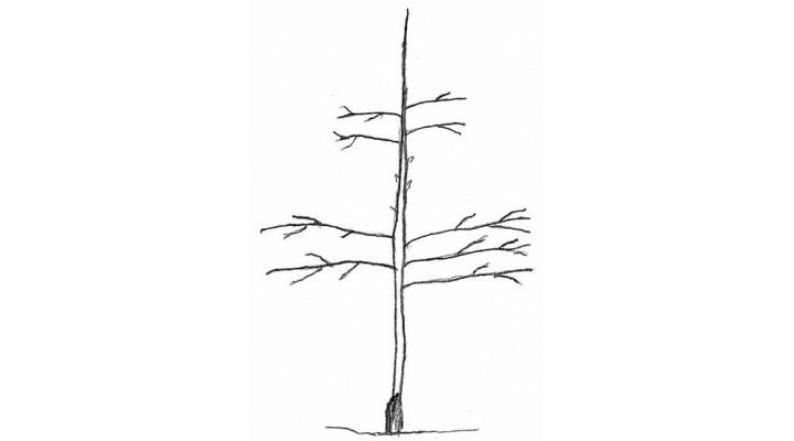 M9 Anaçlı Bodur Elma Ağaçlarında Budama