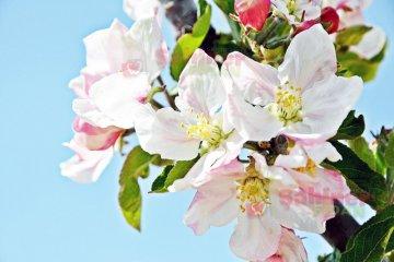 Elmada Çiçek Dönemi