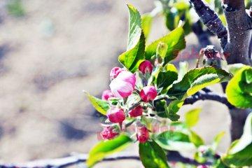 Elmada Pembe Çiçek Dönemi