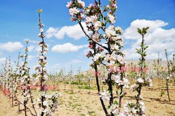 Elmada Tam Çiçek Dönemi