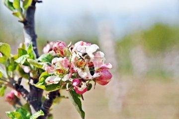 Elmada Tozlaşma Bal Arısı