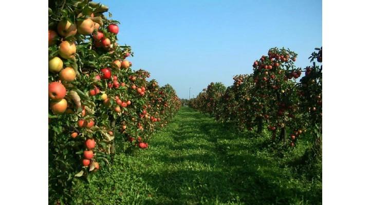 Elma Bahçesinde Gübreleme